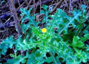 The Spiny Sow Thistle looks more armed Photo by Green Deane